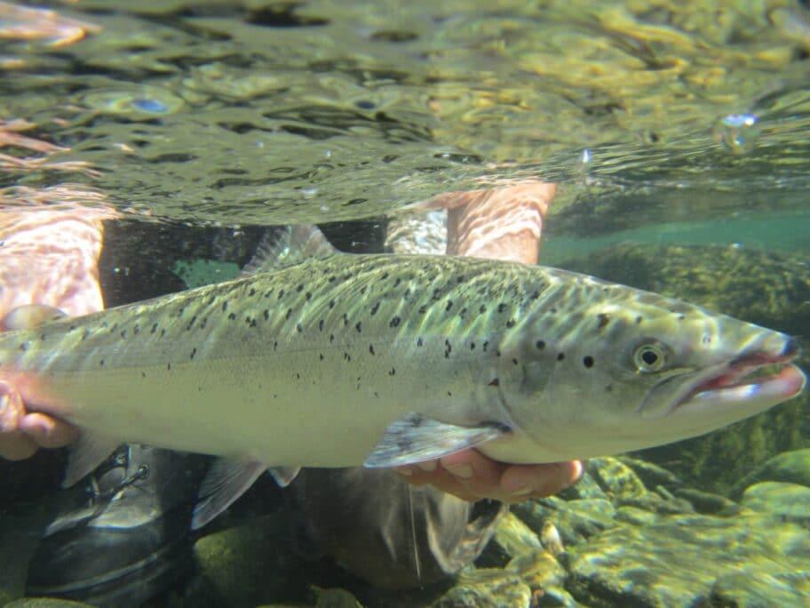 Atlantic salmon underwater in Finnmark